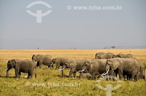 Assunto: Elefantes no Parque Nacional de Amboseli / Local: Vale do Rift - Quênia - África / Data: 09/2012