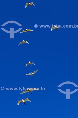 Assunto: Revoada de Garça-branca-grande (Ardea alba) no Vale do Guaporé / Local: Rondônia (RO) - Brasil / Data: 08/2013