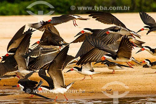 Assunto: Revoada de Talha-mares (Rynchops niger) no Vale do Guaporé / Local: Rondônia (RO) - Brasil / Data: 09/2010