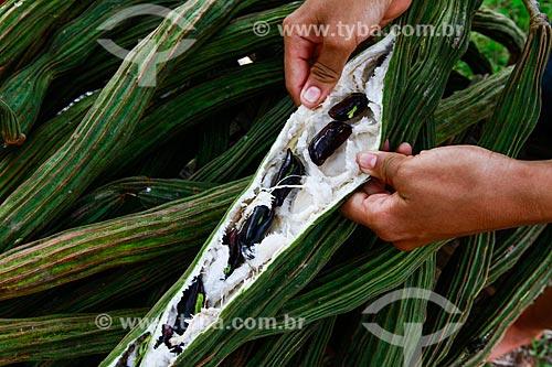 Assunto: Fruto do ingá-cipó (Inga edulis) / Local: Amazonas (AM) - Brasil / Data: 11/2013