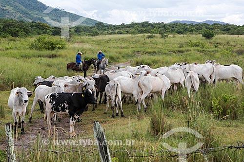 Assunto: Rebanho de gado pastando / Local: Itororó - Bahia (BA) - Brasil / Data: 01/2014