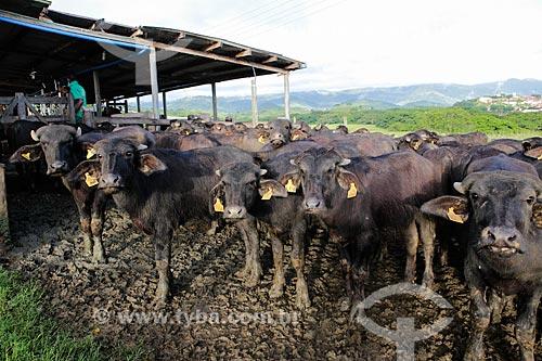 Assunto: Rebanho de búfalo em curral / Local: Itororó - Bahia (BA) - Brasil / Data: 01/2014
