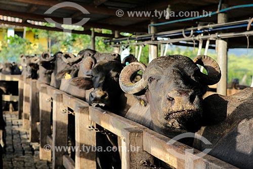 Assunto: Búfalas alinhadas para ordenha mecanizada / Local: Itororó - Bahia (BA) - Brasil / Data: 01/2014