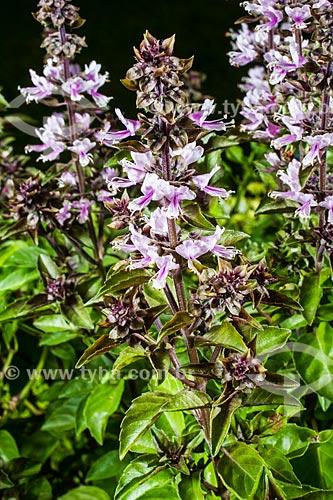 Assunto: Flor de manjericão roxo (Ocimun pupuraceus) / Local: Florianópolis - Santa Catarina (SC) - Brasil / Data: 01/2014