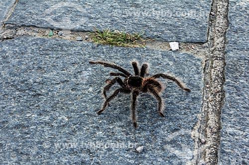 Assunto: Aranha-caranguejeira / Local: Olinda - Pernambuco (PE) - Brasil / Data: 03/2014
