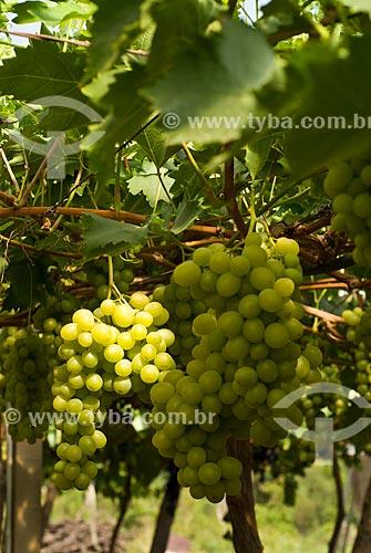 Assunto: Detalhe de parreiral de uva Itália / Local: Nova Pádua - Rio Grande do Sul (RS) - Brasil / Data: 01/2012