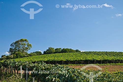 Assunto: Parreiral de uva Niágara Branca / Local: Nova Pádua - Rio Grande do Sul (RS) - Brasil / Data: 01/2012