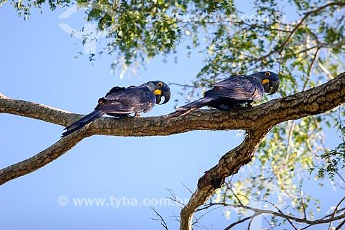 Assunto: Arara-azul-grande (Anodorhynchus hyacinthinus) - também chamada araraúna, arara-preta ou araruna / Local: Mato Grosso do Sul (MS) - Brasil / Data: 04/2008