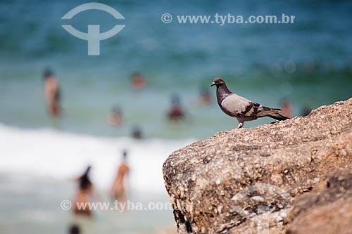 Assunto: Pombo na Pedra do Arpoador / Local: Ipanema - Rio de Janeiro (RJ) - Brasil / Data: 01/2014