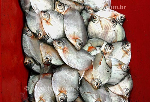 Assunto: Canoa transportando Pacu-caranha (Piaractus mesopotamicus) / Local: Amazonas (AM) - Brasil / Data: 10/2007