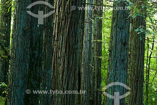 Assunto: Árvores no Parque das Sequóias / Local: Canela - Rio Grande do Sul (RS) - Brasil / Data: 02/2014