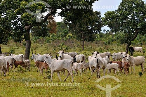 Assunto: Vacas Matrizes da Raça Nelore no pasto / Local: Cassilândia - Mato Grosso do Sul (MS) - Brasil / Data: 02/2014