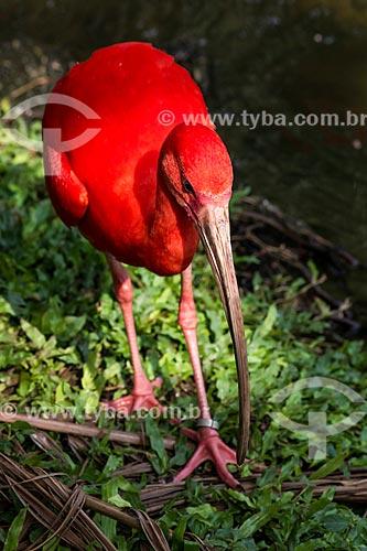 Assunto: Guará-vermelho (Eudocimus ruber) / Local: Pará (PA) - Brasil / Data: 10/2012