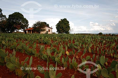 Assunto: Plantação de palma (Opuntia cochenillifera) / Local: Nova Redenção - Bahia (BA) - Brasil / Data: 04/2013