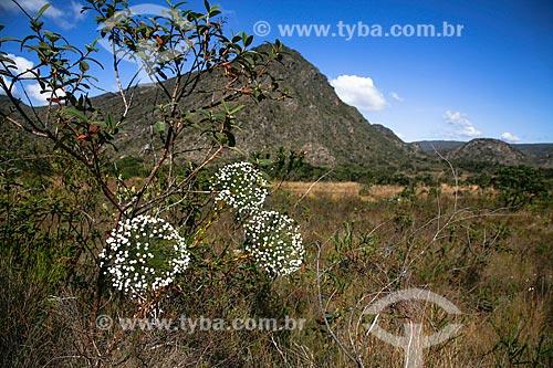 Assunto: Sempre Viva (Paepalanthus Sp.) - também conhecido como Chuveirinho - no Parque Nacional da Serra do Cipó / Local: Santana do Riacho - Minas Gerais (MG) - Brasil / Data: 06/2009