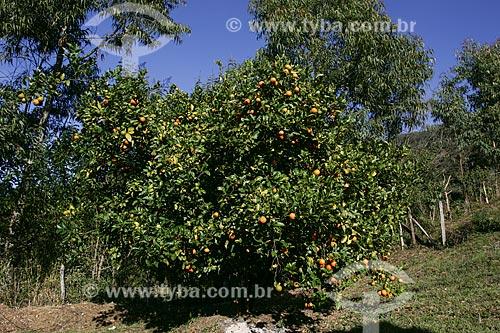 Assunto: Tangerineira próxima ao Parque Nacional da Serra do Cipó / Local: Santana do Riacho - Minas Gerais (MG) - Brasil / Data: 06/2007