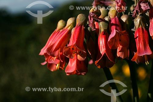 Assunto: Flores no Vale do Matutu / Local: Aiuruoca - Minas Gerais (MG) - Brasil / Data: 06/2007