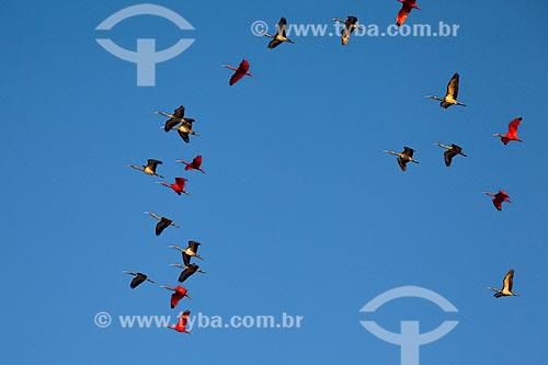 Assunto: Guarás-vermelhos (Eudocimus ruber) no Parque Nacional dos Lençóis Maranhenses / Local: Barreirinhas - Maranhão (MA) - Brasil / Data: 06/2013