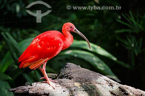 Assunto: Guará tabém conhecido como Ibis-escarlate, Guará-vermelho, Guará-rubro ou Guará-pitanga (Eudocimus ruber) no Parque das Aves / Local: Foz do Iguaçu - Paraná (PR) - Brasil / Data: 04/2014