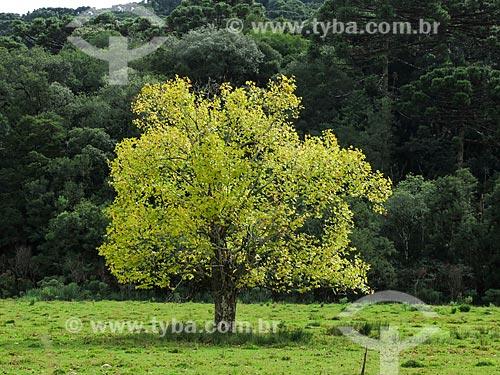 Assunto: Plátano no outono / Local: Canela - Rio Grande do Sul (RS) - Brasil / Data: 04/2014