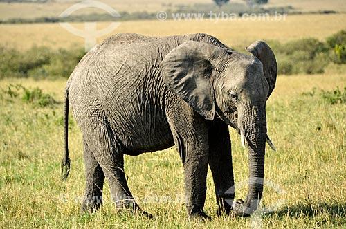 Assunto: Elefante (Loxodonta africana) pastando na Reserva Nacional Masai Mara / Local: Vale do Rift - Quênia - África / Data: 09/2012