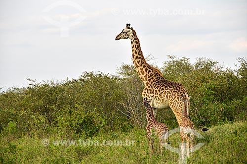 Assunto: Girafa-masai (Giraffa camelopardalis tippelskirchi) na Reserva Nacional Masai Mara / Local: Vale do Rift - Quênia - África / Data: 09/2012