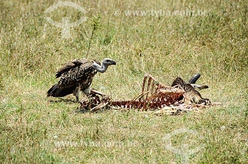 Assunto: Abutre e carcaça de Gnu Azul na Reserva Nacional Masai Mara / Local: Vale do Rift - Quênia - África / Data: 09/2012