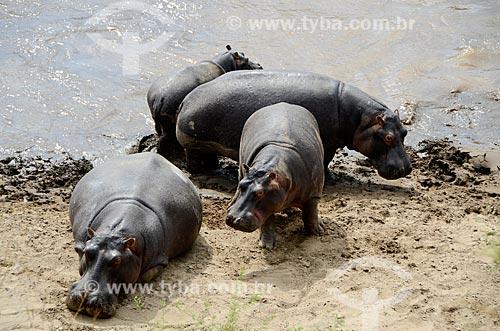 Assunto: Hipopótamos no Rio Mara que separa os territórios das reservas de Maasai Mara no Quênia e Serengeti na Tanzânia / Local: Vale do Rift - Quênia - África / Data: 09/2012