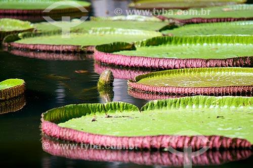 Assunto: Vitória-régia (Victoria amazonica) no Jardim Botânico Sir Seewoosagur Ramgoolam - também conhecido como Jardin de Pamplemousse / Local: Distrito de Pamplemousses - Maurício - África / Data: 11/2012