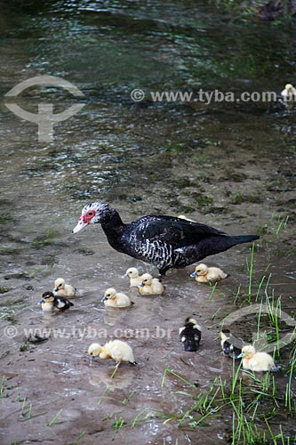 Assunto: Pato com filhotes / Local: Humaitá - Amazonas (AM) - Brasil / Data: 07/2012