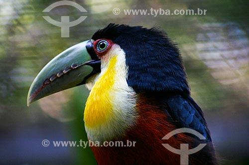 Assunto: Tucano-de-bico-verde (Ramphastos dicolorus) no Parque das Aves / Local: Foz do Iguaçu - Paraná (PR) - Brasil / Data: 05/2008
