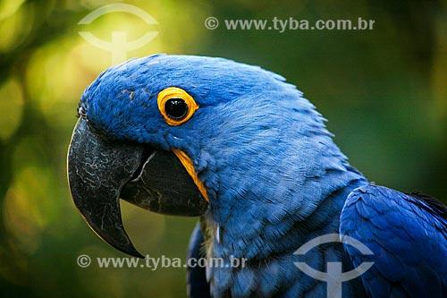Assunto: Arara-azul-grande (Anodorhynchus hyacinthinus) - também chamada araraúna, arara-preta ou araruna - no Parque das Aves / Local: Foz do Iguaçu - Paraná (PR) - Brasil / Data: 05/2008
