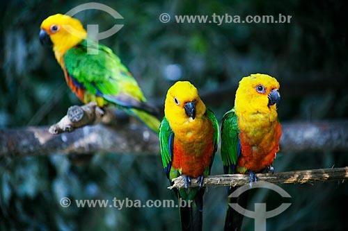 Assunto: Jandaia-verdadeira (Aratinga jandaya) no Parque das Aves / Local: Foz do Iguaçu - Paraná (PR) - Brasil / Data: 05/2008