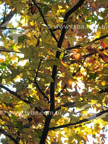 Assunto: Folhas de plátano durante o outono / Local: Canela - Rio Grande do Sul (RS) - Brasil / Data: 05/2014