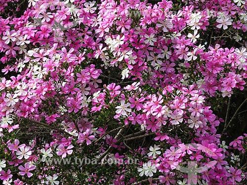 Assunto: Flores de Quaresmeira (Tibouchina granulosa) - também conhecida como flor-de-quaresma / Local: Morro Reuter - Rio Grande do Sul (RS) - Brasil / Data: 05/2014