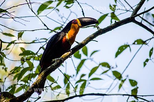 Assunto: Tucano-de-bico-preto (Ramphastos vitellinus Ariel Vig) / Local: Rio de Janeiro (RJ) - Brasil / Data: 02/2014
