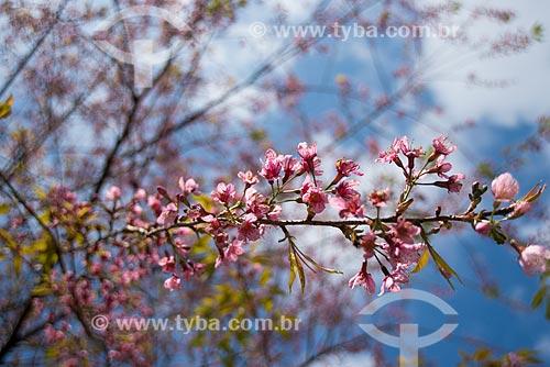 Assunto: Flor de Cerejeira Japonesa / Local: Visconde de Mauá - Resende - Rio de Janeiro (RJ) - Brasil / Data: 06/2014