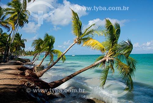 Assunto: Coqueiros tombados pelo avanço da maré na Praia Ponta de Mangue / Local: Maragogi - Alagoas (AL) - Brasil / Data: 01/2014