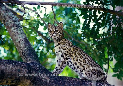 Gato-do-mato (Leopardus tigrinus) - também conhecido como Gato-do-mato-pequeno  - Ceará (CE) - Brasil
