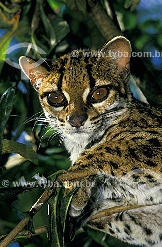 Gato-maracajá (Felis wiedii) na Mata Atlântica  - Santa Teresa - Espírito Santo (ES) - Brasil