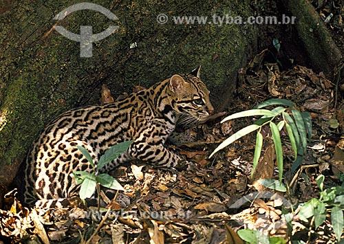 Jaguatirica (Felis pardalis) ou Gato-do-mato  - Amazonas (AM) - Brasil