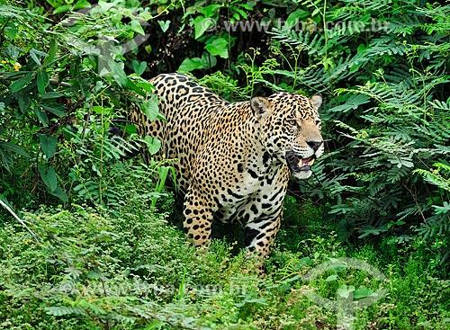 Onça pintada (Panthera onca) na beira do Rio Piquiri  - Barão de Melgaço - Mato Grosso (MT) - Brazil