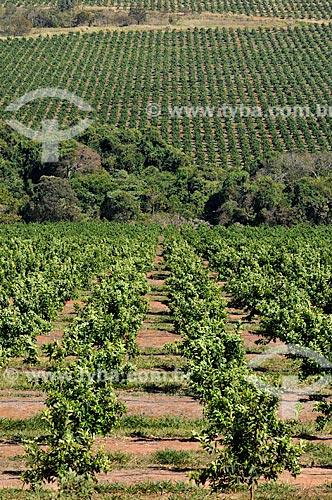 Plantação de Laranja  - Prata - Minas Gerais (MG) - Brasil