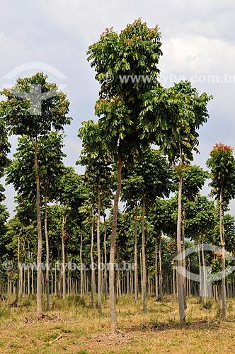 Plantação de Mogno  - São Roque de Minas - Minas Gerais (MG) - Brasil