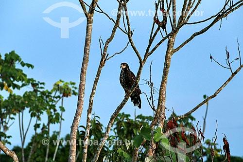 Gavião-caramujeiro - Rostrhamus sociabilis  - Parintins - Amazonas (AM) - Brasil