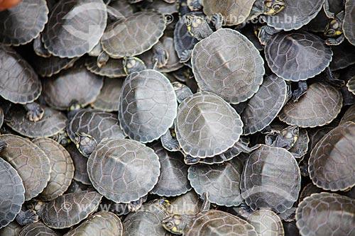 Filhotes de Tartaruga-da-Amazônia (Podocnemis expansa) às margens do Rio Guaporé - Ecovale  - São Francisco do Guaporé - Rondônia (RO) - Brasil
