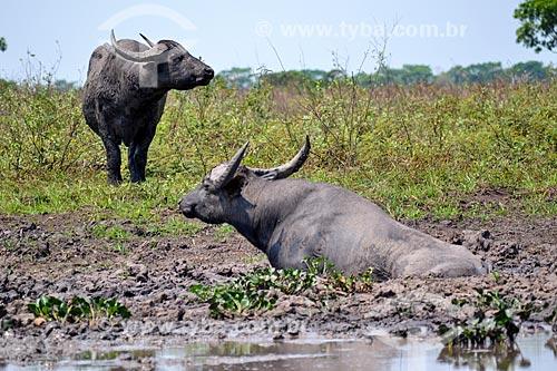 Búfalos às margens do Rio Guaporé proximo à Fazenda Pau DÓleo e da Reserva Biológica do Guaporé  - São Francisco do Guaporé - Rondônia (RO) - Brasil