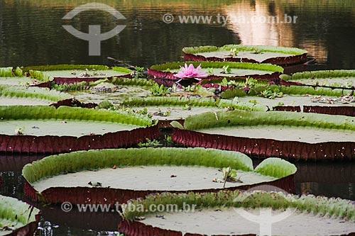 Vitória-régia (Victoria amazonica) no Parque Zoo El Pantanal  - Trinidad - Departamento do Beni - Bolívia