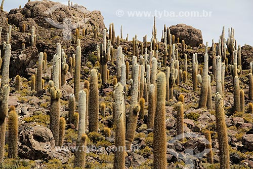 Cactos na Isla Pescado (Ilha do Pescado) - também conhecida como Isla Incahuasi  - Departamento Potosí - Bolívia