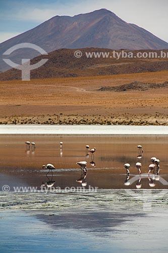 Flamingo-de-James (Phoenicoparrus jamesi) às margens de lagoa no Deserto Siloli  - Departamento Potosí - Bolívia